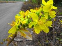 Fiore giallo dell'albicocca fotografia stock