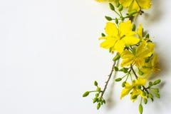 Fiore giallo dell'albicocca su fondo bianco, nuovo anno lunare tradizionale nel Vietnam fotografia stock libera da diritti