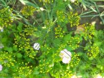 Fiore giallo dell'aneto Fotografia Stock Libera da Diritti