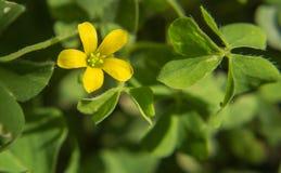 Fiore giallo dell'erba Fotografia Stock Libera da Diritti
