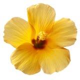 Fiore giallo dell'ibisco Fotografia Stock Libera da Diritti