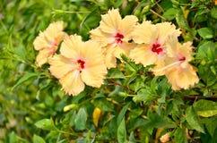 Fiore giallo dell'ibisco della sfuocatura Immagini Stock