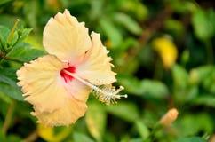 Fiore giallo dell'ibisco della sfuocatura Immagine Stock Libera da Diritti