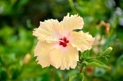 Fiore giallo dell'ibisco della sfuocatura Fotografia Stock Libera da Diritti