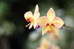 Fiore giallo dell'orchidea Fotografia Stock