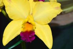 Fiore giallo dell'orchidea di cattleya Immagine Stock Libera da Diritti