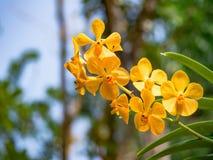 Fiore giallo dell'orchidea in giardino tropicale, fondo verde per il po Immagine Stock