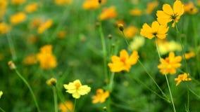 Fiore giallo dell'universo archivi video