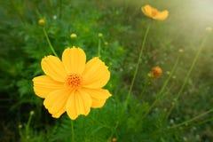 Fiore giallo dell'universo Immagine Stock