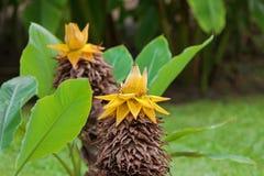 Fiore giallo della banana nana cinese, banana dorata del loto, Chin fotografia stock libera da diritti