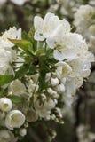 Fiore giallo della ciliegia di cornalina Immagini Stock