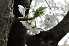 Fiore giallo della ciliegia di cornalina Immagine Stock
