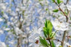 Fiore giallo della ciliegia di cornalina Fotografia Stock