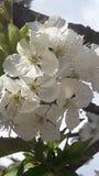 Fiore giallo della ciliegia di cornalina Fotografie Stock Libere da Diritti