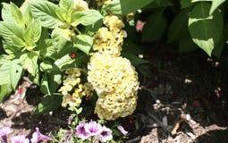 Fiore giallo della cresta di gallo del velluto Fotografie Stock