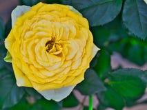 Fiore giallo della fioritura nei campi della Provenza fotografie stock libere da diritti