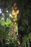 Fiore giallo della foresta pluviale Fotografie Stock