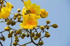 Fiore giallo della fromager Fotografia Stock Libera da Diritti