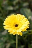Fiore giallo della gerbera. Fotografie Stock Libere da Diritti