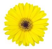 Fiore giallo della gerbera isolato su bianco Immagine Stock Libera da Diritti