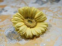 Fiore giallo della gerbera, su un fondo colorato, macro fotografie stock