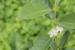 Fiore giallo della guaiava di fragola Fotografia Stock Libera da Diritti