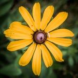 Fiore giallo della margherita Immagine Stock