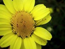 Fiore giallo della margherita Fotografie Stock Libere da Diritti