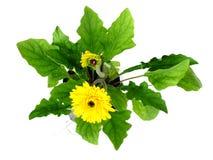 Fiore giallo della margherita della gerbera su fondo bianco immagini stock libere da diritti