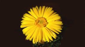 Fiore giallo della margherita isolato fotografia stock