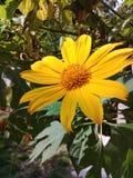 Fiore giallo della margherita nel giardino con le foglie verdi dietro fotografia stock