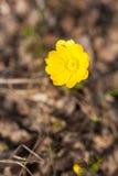 Fiore giallo della molla nella foresta Fotografie Stock