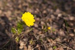 Fiore giallo della molla nella foresta Fotografia Stock