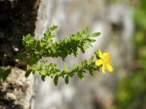 Fiore giallo della montagna Immagine Stock