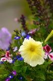 Fiore giallo della petunia contro fondo floreale colourful Fotografie Stock