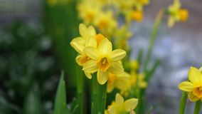 Fiore giallo della pianta del narciso immagini stock libere da diritti