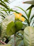 Fiore giallo della pianta di fortuna Fotografia Stock Libera da Diritti