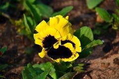 Fiore giallo della primavera Fotografia Stock