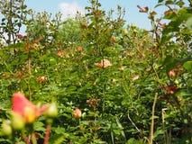 fiore giallo della rosa di rosa Fotografie Stock Libere da Diritti