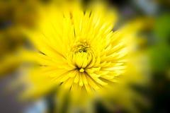 Fiore giallo della sfuocatura Immagini Stock Libere da Diritti
