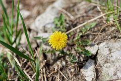Fiore giallo della sorgente fotografie stock libere da diritti