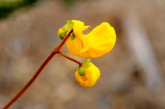Fiore giallo della traversina Fotografie Stock