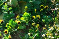 Fiore giallo della viola Fotografia Stock