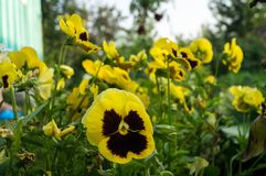 Fiore giallo della viola Fotografie Stock Libere da Diritti
