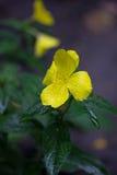 Fiore giallo della viola Immagine Stock