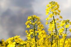 Fiore giallo della violenza Fotografie Stock