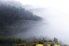 Fiore giallo della violenza in primavera sul pendio di collina, copertura della nebbia della montagna Fotografie Stock