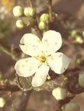 fiore giallo delle prugne Immagini Stock Libere da Diritti