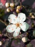 fiore giallo delle prugne Immagine Stock Libera da Diritti