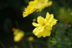 Fiore giallo dello starburst Fotografie Stock